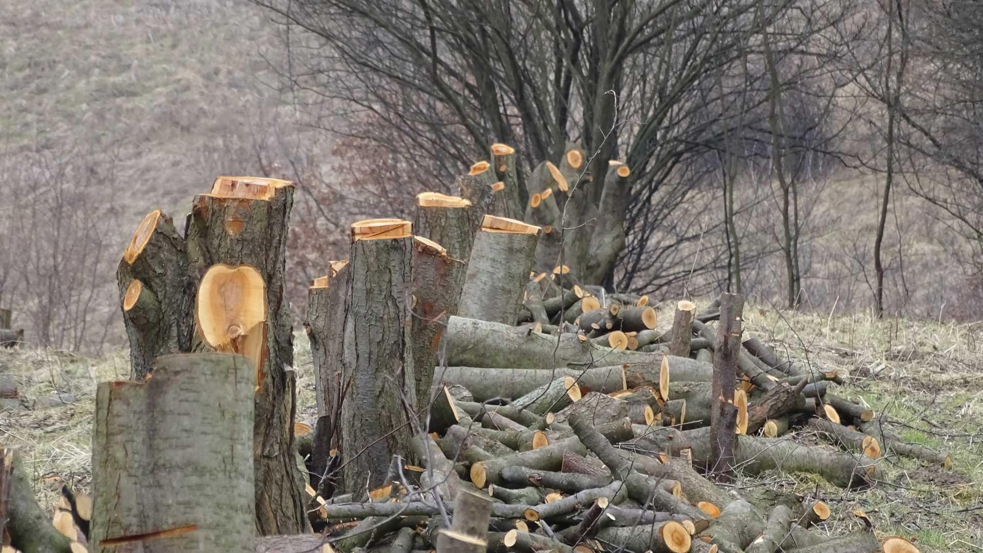 Przygotowanie do wyrywania pni z korzeniami